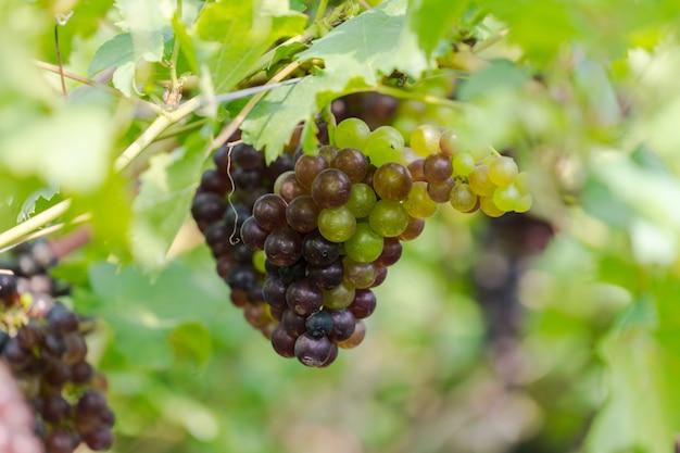 Vignoble avec raisins de vin blanc dans la campagne, grappes de raisin ensoleillées accrocher sur la vigne