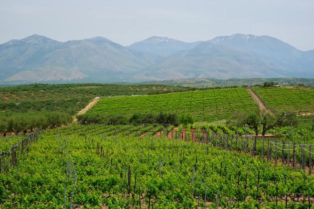 Vignoble avec rangs de raisins