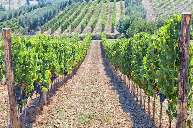 Vignoble toscan aux raisins rouges.