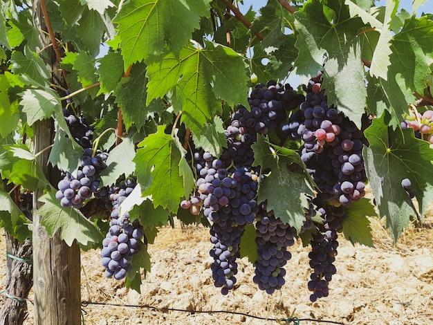 Vignoble toscan aux raisins rouges