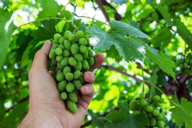 Le vignoble travaille avec la qualité des raisins dans le vignoble.