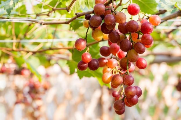 Vignobles au coucher du soleil en automne récolte. raisins mûrs à l'automne.