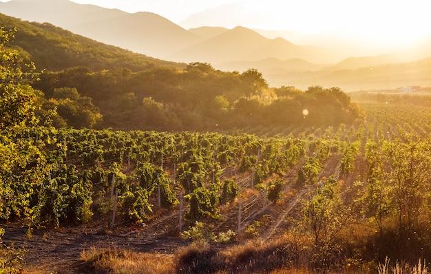 Les vignobles au coucher du soleil, la crimée