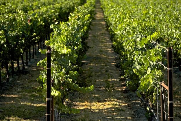 Vignobles de californie