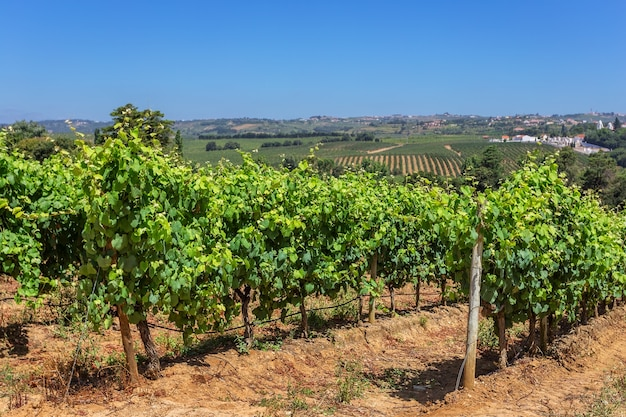 Vignobles portugais de la zone alentejo.