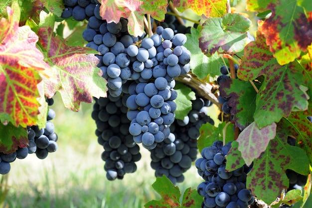 Vignobles de raisin bleu au moment des vendanges