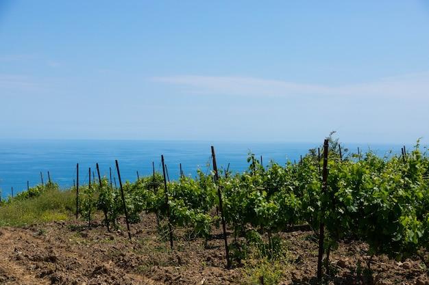 Vignobles verts et vignes contre le ciel bleu. culture de raisins de cépage pour la production de vin.
