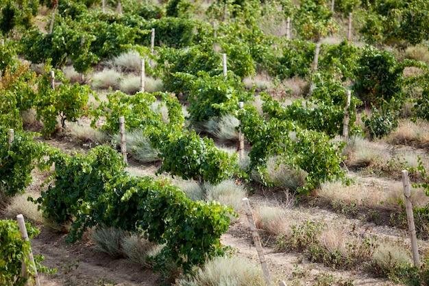 Vignobles verts