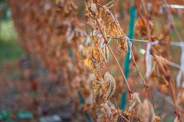 Vin de glace le vin le plus doux est issu de raisins déchiquetés vigne après le premier gel