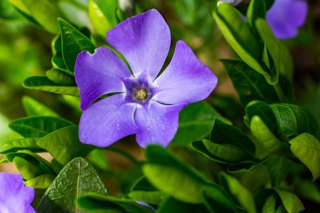 Vinca minor, noms communs petite pervenche ou pervenche naine, est une espèce de plante à fleurs de la famille de l'apocyn du jardin botanique.