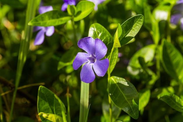 Vinca pourpre, fleur de pervenche. fond naturel avec fleur de printemps. pervenche après la pluie en gros plan.
