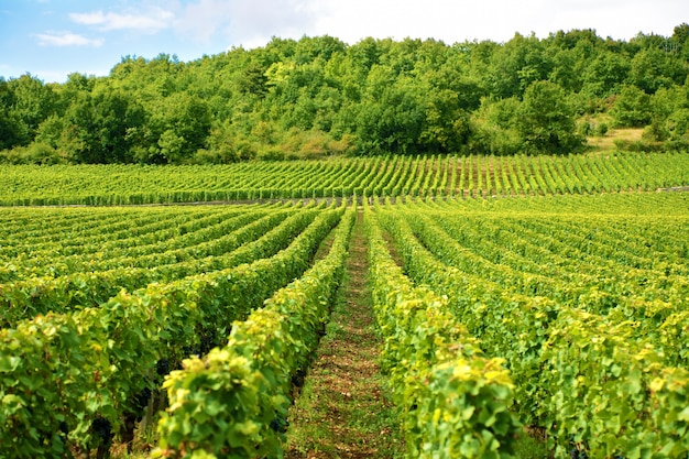 Vineyard in france