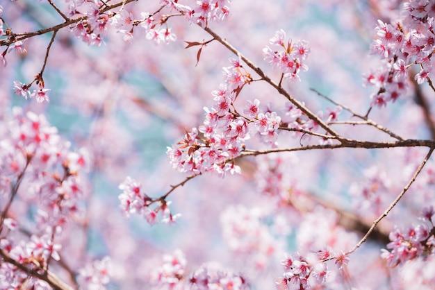 Vintage bouchent les fleurs de cerisier de l'himalaya sauvages (prunus cerasoides) en fleurs sur l'arbre avec un ciel bleu
