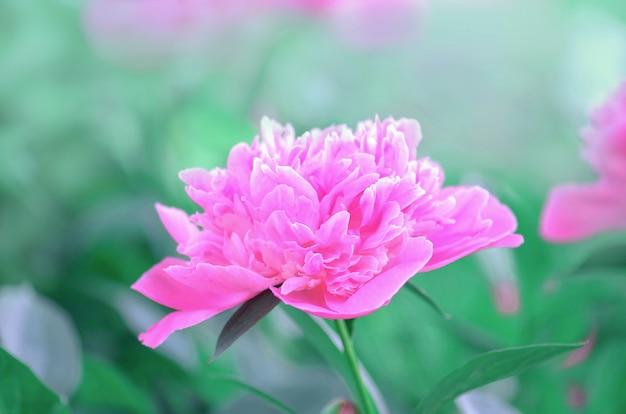 Vintage pivoines roses dans un jardin. pivoine floraison estivale