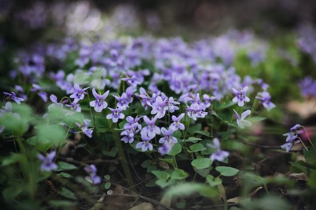 Viola reichenbachiana. petites fleurs violettes et feuilles vertes de belle plante forestière au début du printemps.
