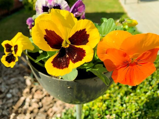 Viola tricolor poussent en pot à l'extérieur