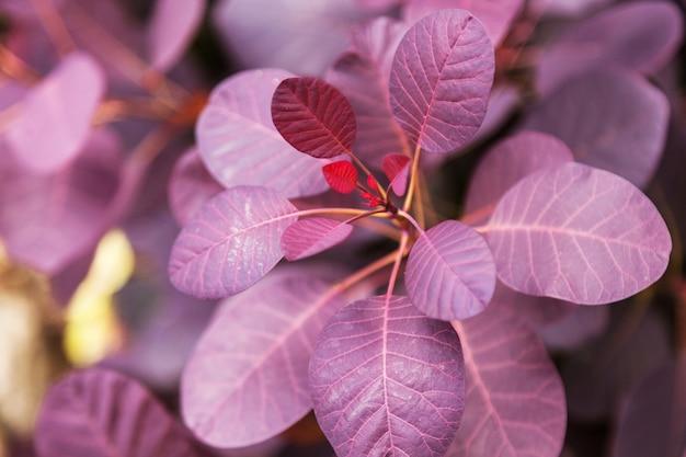 Violet feuilles d'une plante close-up de brousse