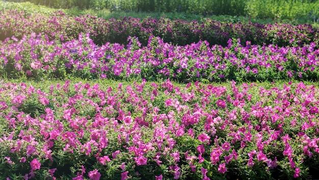 Violet de fleur dans le jardin.