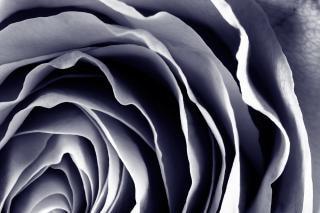 Violet rose macro hdr