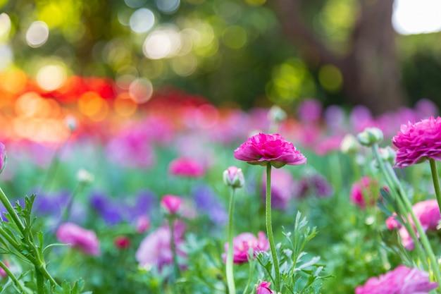 Violette renoncule dans le jardin