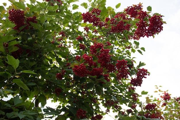 Viorne d'automne viorne rouge arbres d'automne avec des baies fond d'automne