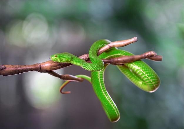 Vipère verte, accrochée à l'arbre.