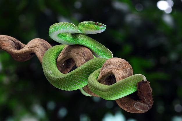 Vipère Verte Trimeresurus Albolabris, Vipère Aux Lèvres Blanches Photo Premium