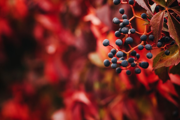 Virginia creeper, parthenocissus quinquefolia - raisin sauvage