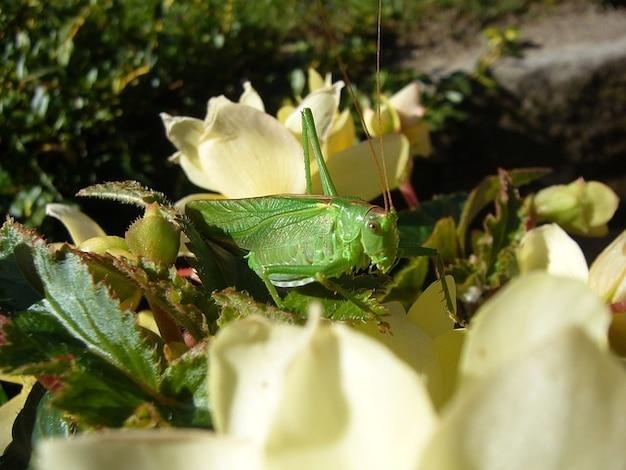 Viridissima fleurs sauterelle