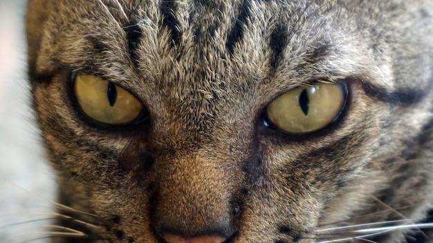 Visage de chat, se concentrer sur les yeux et le visage