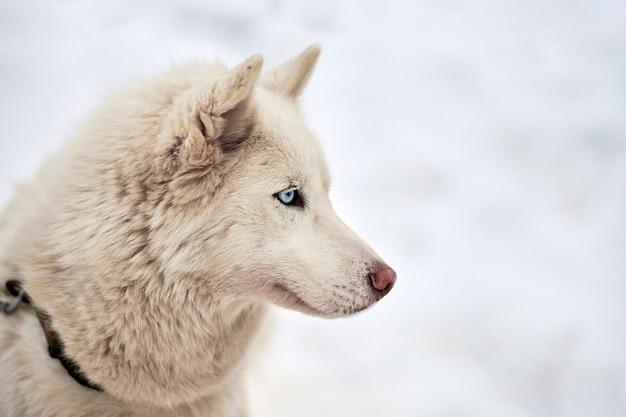 Visage de chien de traîneau husky, fond d'hiver. portrait de museau extérieur de race de chien husky sibérien. bel animal drôle à pied avant la compétition de course.