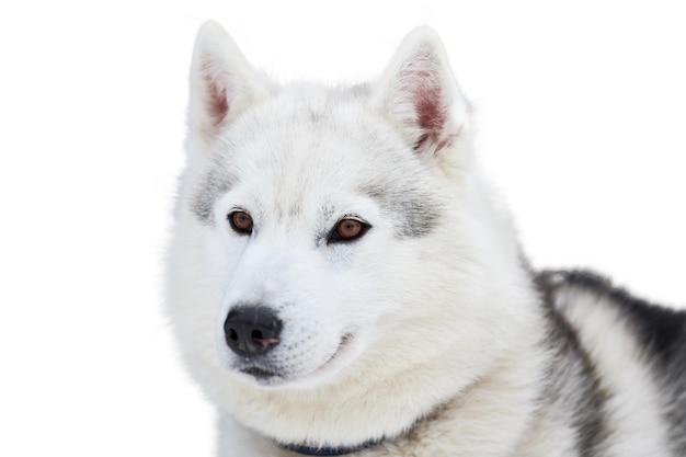 Visage de chien de traîneau husky, isolé. race de chien husky sibérien fond blanc, portrait de museau