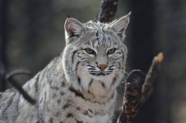 Visage étonnamment alerte d'un lynx canadien dans la nature sauvage.