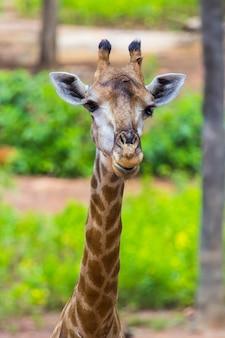 Visage de girafe masaï mangeant des pics autour de la brousse