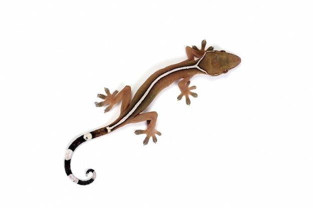 Visage de gros plan de gecko de ligne blanche sur fond blanc