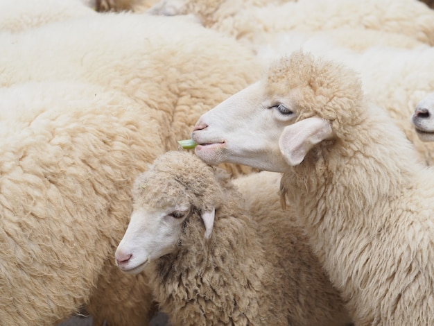 Visage de mouton mangeant de l'herbe verte