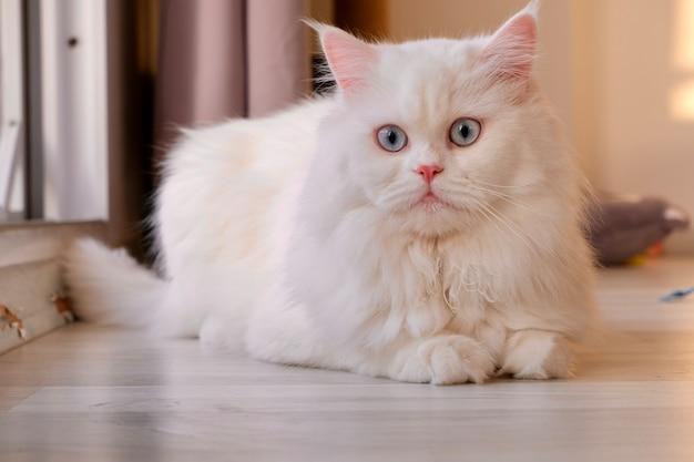 Visage de poupée persane chinchilla white cat fluffy animal de compagnie mignon avec des yeux bleus