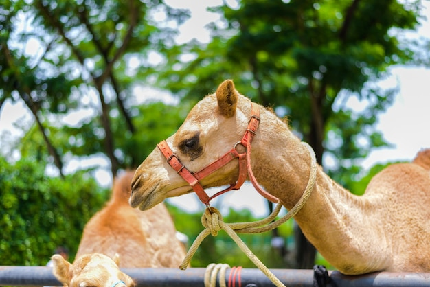 Visage souriant de chameau