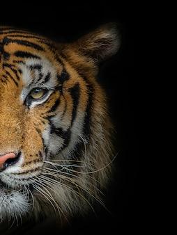 Le visage d'un tigre mâle sur fond noir.
