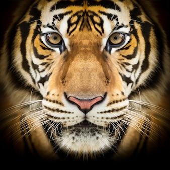 Visage de tigre de sibérie