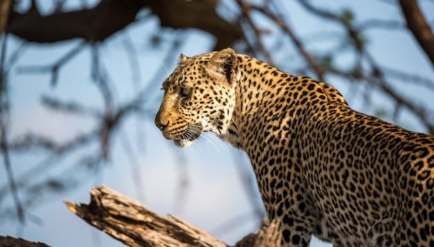 Le visage d'un très beau léopard