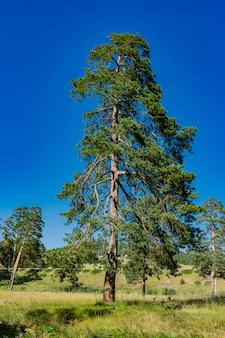 Voir les arbres à feuilles persistantes sur la montagne zlatibor en serbie