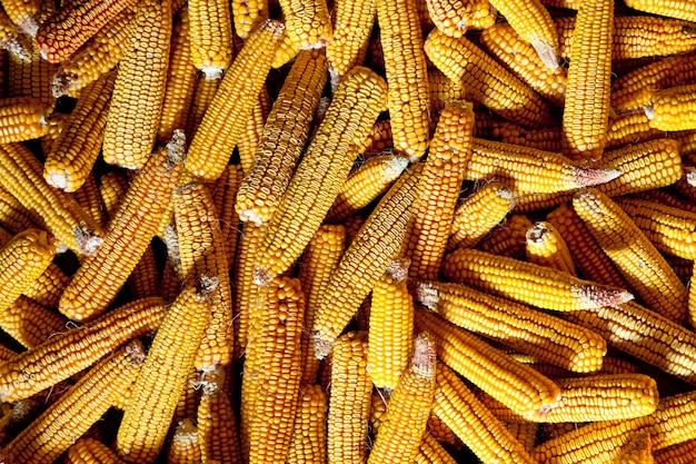Voir au maïs.