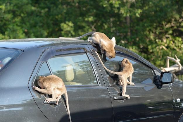 Voiture d'attaque de singe