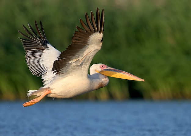Vol du pélican blanc vers le lever du soleil et regarder le photographe.