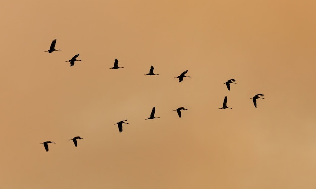 Vol de grues volant au coucher du soleil
