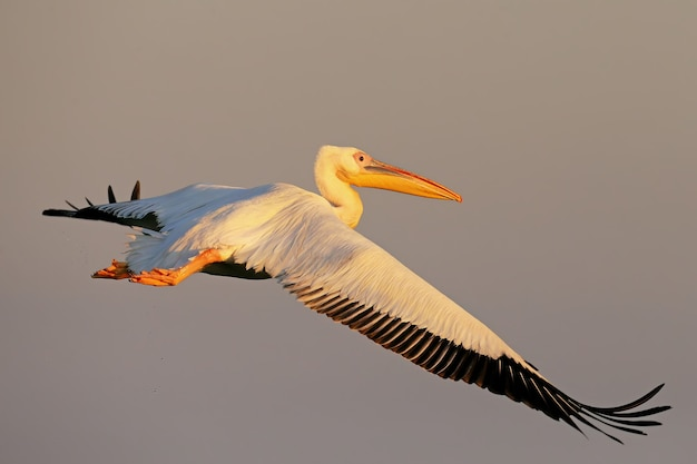 Vol de pélican blanc vers le lever du soleil dans la douce lumière du matin.