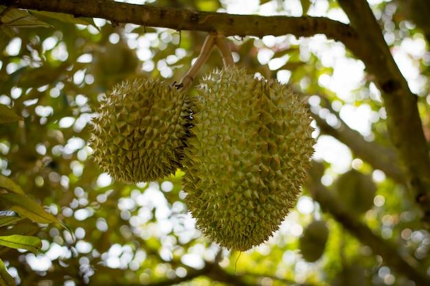 Volcan durian frais sisaket, thaïlande, sur, arbre