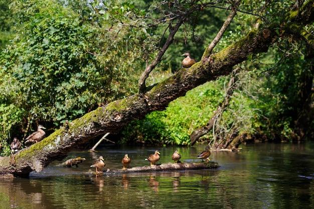 Une volée de canards