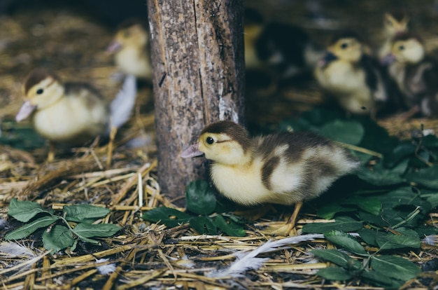 Une volée de canetons jaunes assis sur le foin dans la grange.
